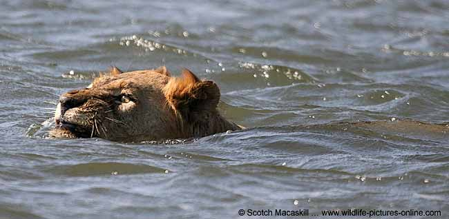 swimming_lion-lznp-7713